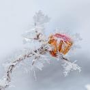 Eis und Schnee - 1 Rose