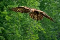 Adler im Anflug 2
