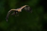 Adler im Anflug 1