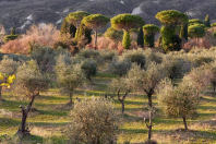 Olivenhain bei La Foce