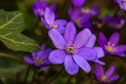 Leberbluemchen-im-Garten
