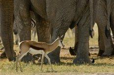 Elephant vs Gazelle