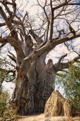 wie alt bin ich Baobbbaum in Botswana